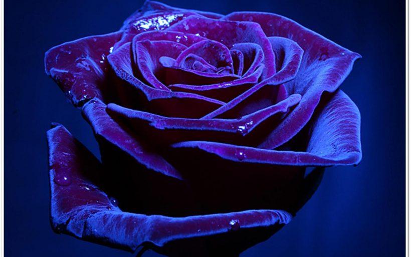 beg rose