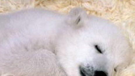 В лондонски зоопарк се роди бяло мече за първи път от 25 години